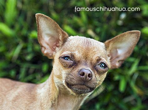 quotes   tiny chihuahua quotesgram