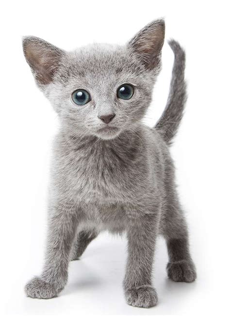 Blue Cats - the russian blue cat a guide to the breed from the happy