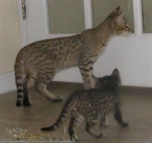 Savannah Cat Full-Grown