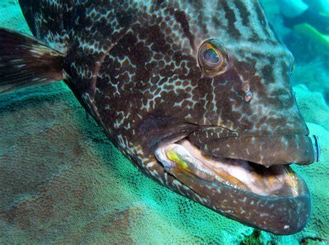 grouper belize location