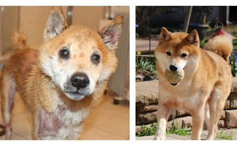 Dc Shiba Inu Rescue Washington Dc Rescue That Specializes In Shiba Inu But Also Takes In