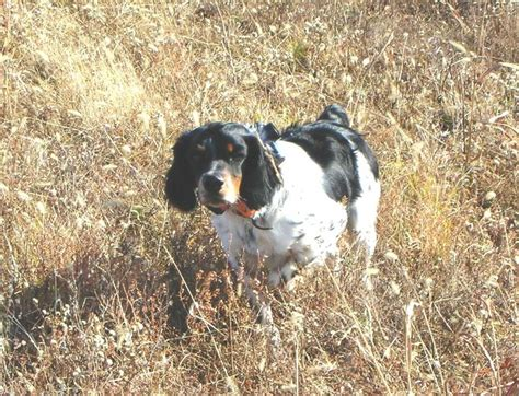 french brittany spaniel pictures dog breeds picture