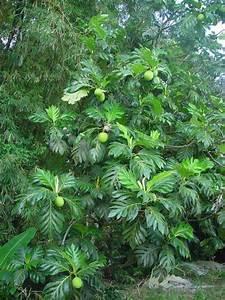 Arbre A Fruit : caribfruits chataigne pays fruits tropicaux ~ Melissatoandfro.com Idées de Décoration