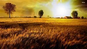 Wheat Field Harvest - wallpaper.