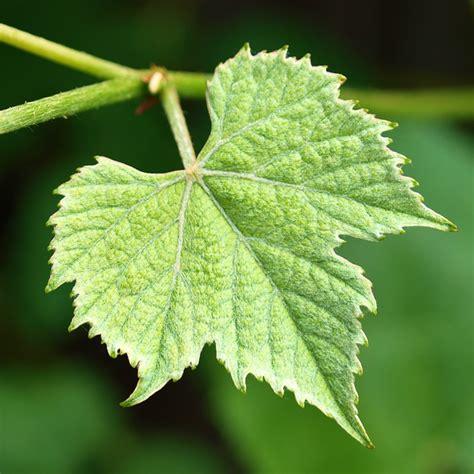 grape leaves july 2012 feral kitchen