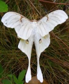 Beautiful Luna Moth