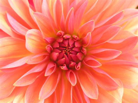 dahlia pic file red dahlia jpg