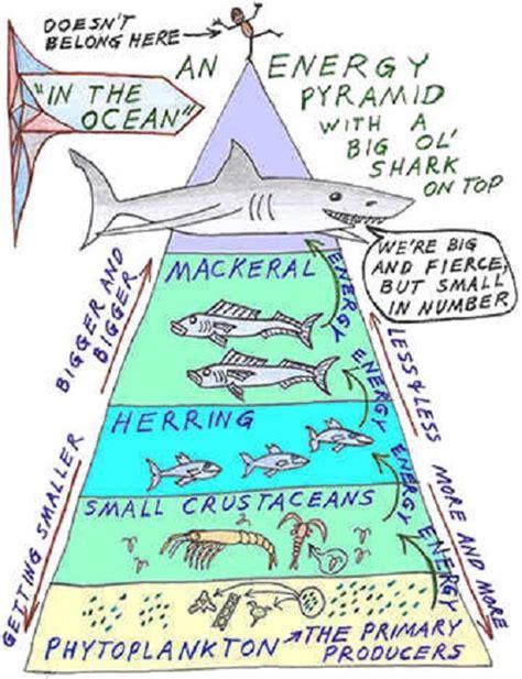 Ocean Food Chain Energy Pyramid