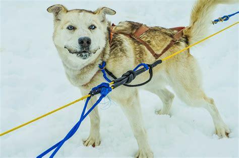 The Sled  Ee  Dog Ee   Industry Controversy  Ee  Dog Ee   International