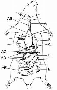 Rat U00b4s Digestive Organs