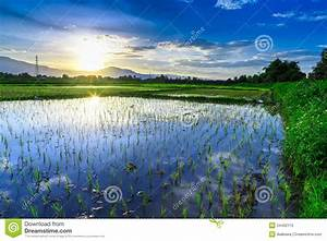 Young Rice Field With Mountain Sunset Background Stock ...