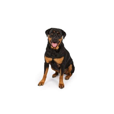 rottweiler puppies visit petland  dallas texas