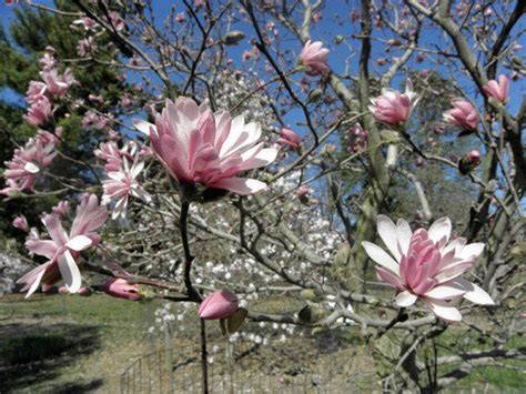 magnolias trees types 15 types of magnolia trees and shrubs pictured