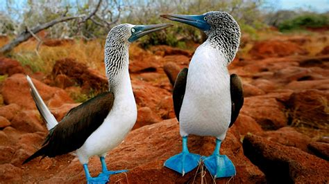 blue footed booby full hd wallpaper  background image