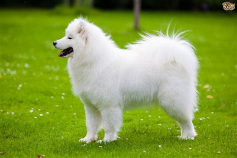 Samoyed Dog Breed Information Buying Advice Photos And