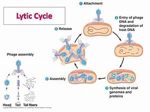 How Does The Lytic Cycle Of Viral Reproduction Works