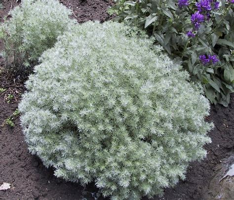 Best Silver Foliage Plants To Beautify Your Garden