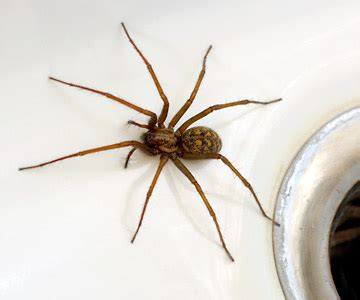 house spider oregon spiders should you be scared of a bite