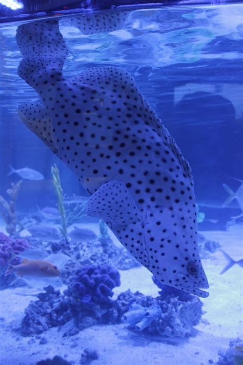 grouper panther fish types lovely portland resides humpback fellow aquarium known meet