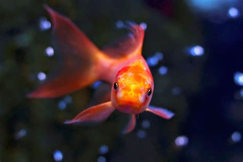 wie groß werden goldfische wie goldfische 252 berwintern k 246 nnen 187 tierheilkunde