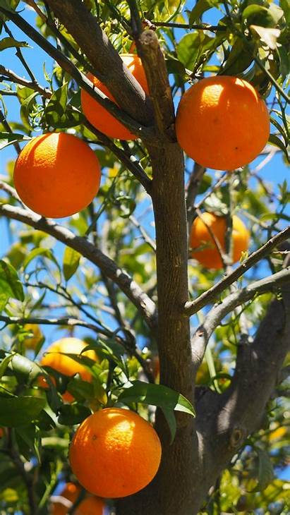 Orange Fruit Tree Citrus Oranges Background Iphone