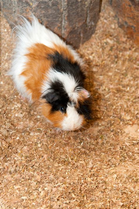 guinea pig names unique names for new guinea pigs images frompo