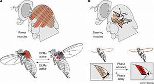 Insect Flight  Current Biology