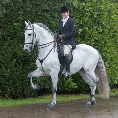 horse andalusian spanish horses breed spain pure history horsebreedspictures