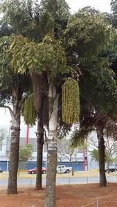 Queue De Poisson Voiture : caryota palmiers queue de poisson photos prisent bras lia br sil tests jeux ducatifs ~ Maxctalentgroup.com Avis de Voitures