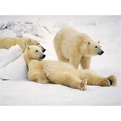 Polar Bears (Ursus maritimus) {!--북극곰-->; DISPLAY FULL IMAGE.