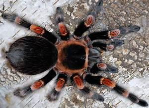 Brachypelma smithi L3 - Spider Shop