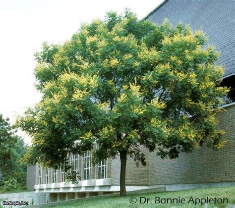 golden raintree koelreuteria paniculata