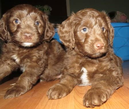 mini f1 aussiedoodle puppies for sale aussiedoodle and