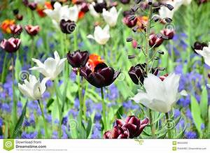 Tulpen Im Garten : schwarze u wei e tulpen im garten von keukenhof von lisse ~ A.2002-acura-tl-radio.info Haus und Dekorationen