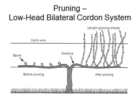 how to prune concord grapes basic considerations for pruning grapevines extension