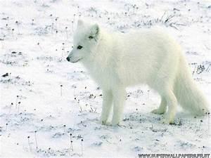 Bébé Loup Blanc : loup ~ Farleysfitness.com Idées de Décoration