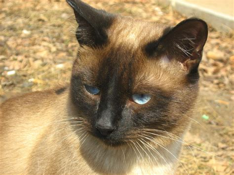Siamese Cat Twins Second Brother Russian Cats Pictures