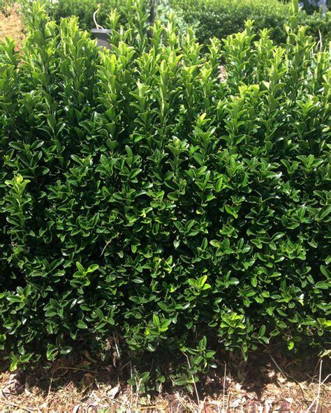 hedge bushes types euonymus green rocket 3 quot pot bulk buy of 100 hello hello plants garden supplies