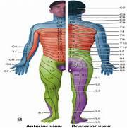 Dermatome Netter Lower...Dermatomes Netter