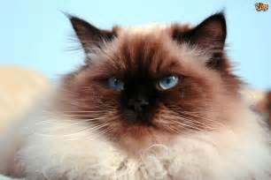 flat faced cat for 5 popular flat faced cat breeds pets4homes