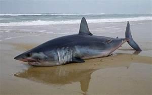 F 15 Vitesse Maximale : requin mako chou dans les landes potentiellement dangereux sud ~ Medecine-chirurgie-esthetiques.com Avis de Voitures