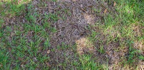 deal  grass fungus diseases   lawn