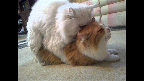 تزاوج بيكي فيس ون فيس قطط على سنابي Hassanzzzz قطط