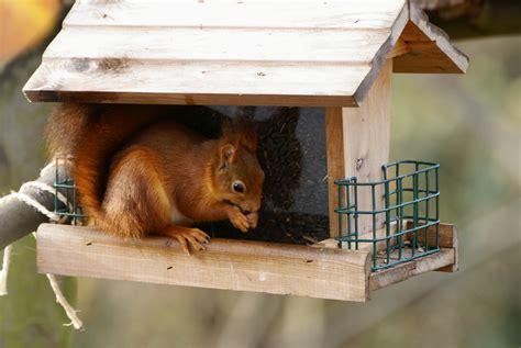 comment faire un roux en cuisine nourrissage des écureuils roux besoin de conseils