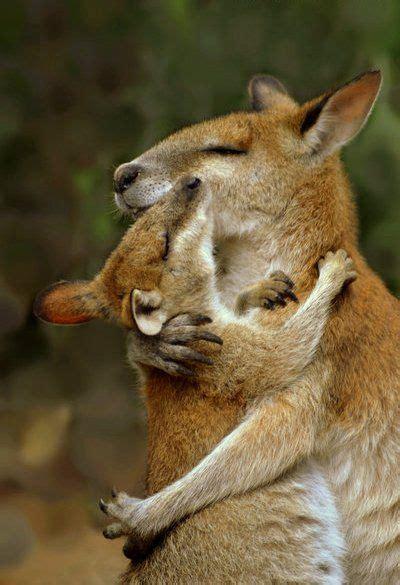 cute kangaroos hugging luvbat