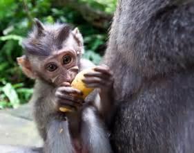 Baby Monkeys Eating Bananas