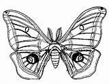 Moth Coloring Drawing Luna Adult Getdrawings sketch template