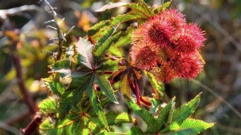 bentuknya mirip rambutan buah disebut sebagai tanaman