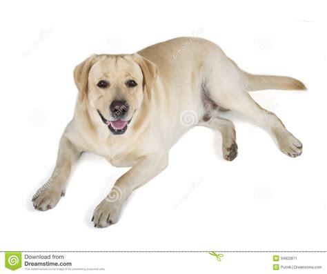 Yellow Labrador Retriever Smiling Stock Image - Image of ...