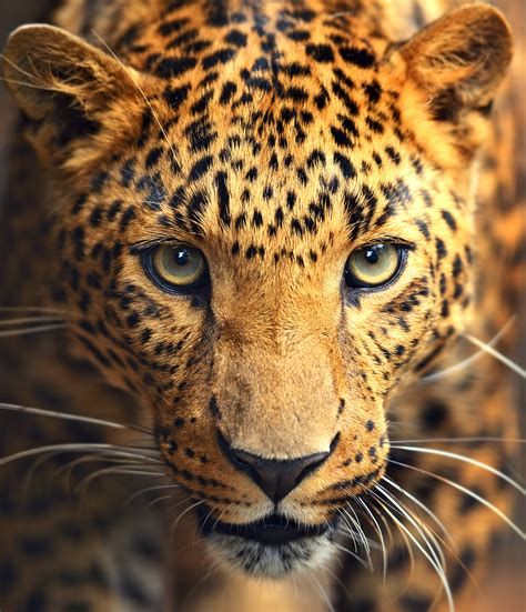 Free Live Animal Wallpaper - luipaard freek